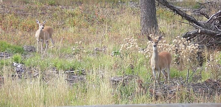 Joe Duket - Mule Deer in Meadow