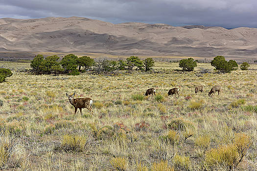 Mule Deer in the Dunes by Jeffrey Hamilton
