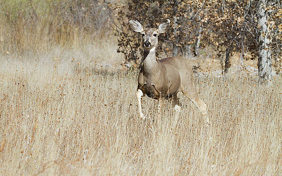 Mule Deer in the environment  by Ruth Jolly