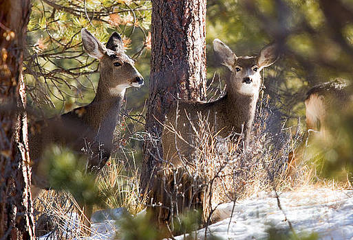Steve Krull - Mule Deer in the Pike National Forest in Winter