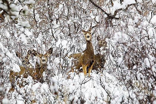 Steve Krull - Mule Deer in Winter Snowstorm