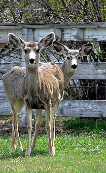Mule Deer  by Juls Adams