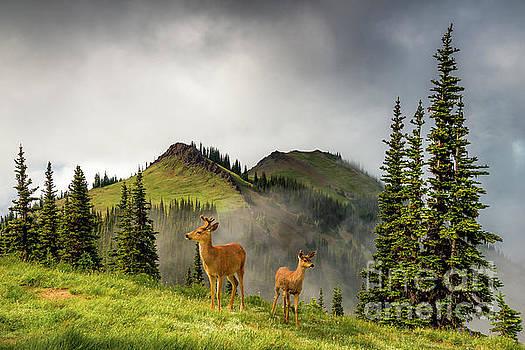 Mule Deer Olympic National Park by Michael Wheatley