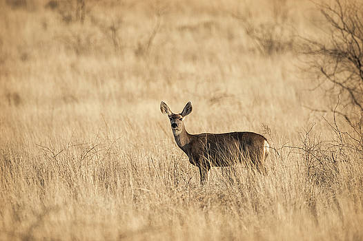 Saija Lehtonen - Mule Deer on the Prairie