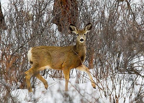 Steve Krull - Mule Deer Portrait in Heavy Snow