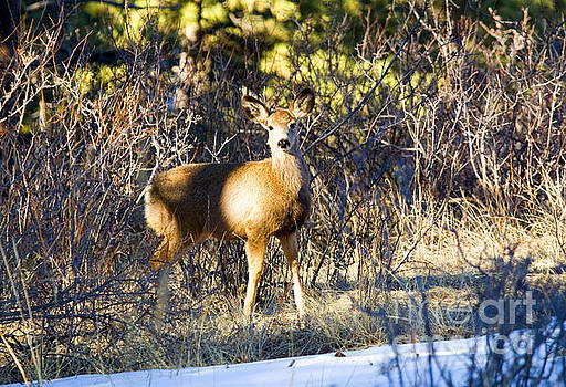 Steve Krull - Mule Deer Posing in the Pike National Forest and Snow