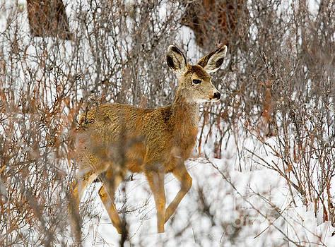 Steve Krull - Mule Deer Stepping in Heavy Snow
