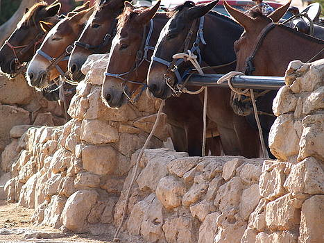 Mules Waiting by Carrie Putz