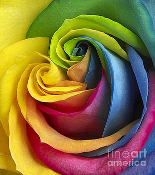 Rainbow Rose by Tony Cordoza