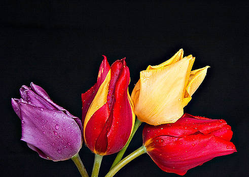 Multi Color Tulips On Black by Liviu Leahu