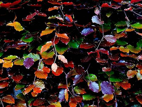 Colin Drysdale - Multi-coloured Beech Leaves