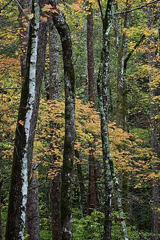 Multiple tree trunks in autumn landscape background by Natalie Schorr