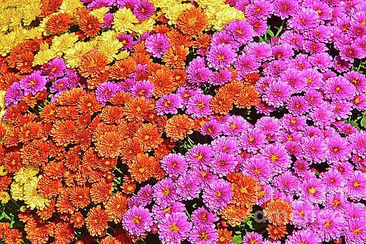 Regina Geoghan - Mums in Three Colors