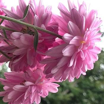 mums The Word!  #chrysanthemum by Lisa Pearlman