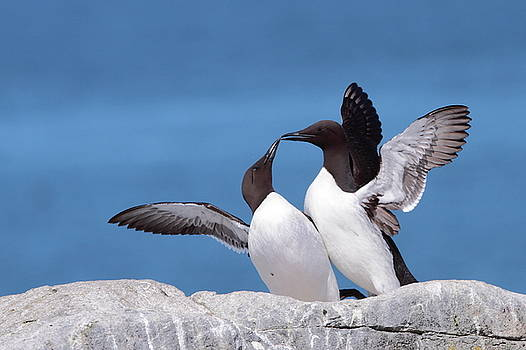 Murre Love by Bruce J Robinson