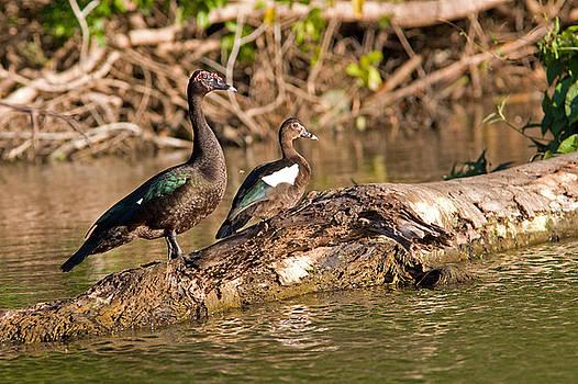 Aivar Mikko - Muscovy Ducks at Lake Salvador