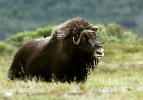 Musk Ox on the tundra by Myrna Bradshaw