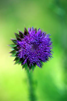 Musk-Thistle by Bill Morgenstern