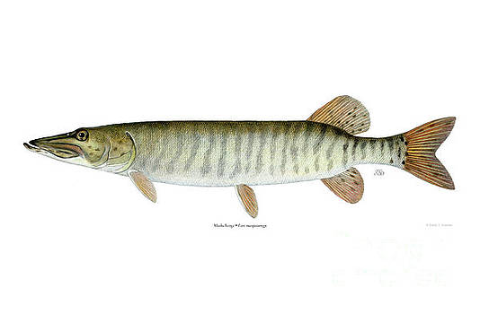 Muskellunge by Emily Damstra