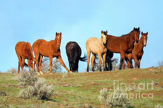 Mustang Herd by Mike Dawson