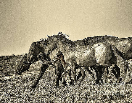 Mustang stallion pushing his family band by Rod Giffels