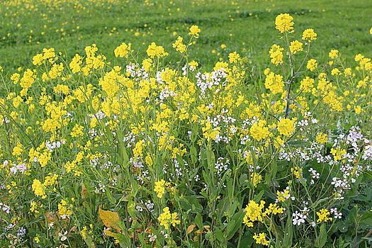 Mustard Field by Lucie Buchert