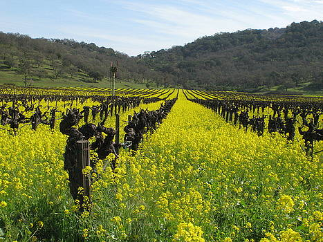 Mustard in the vineyards by Kim Pascu