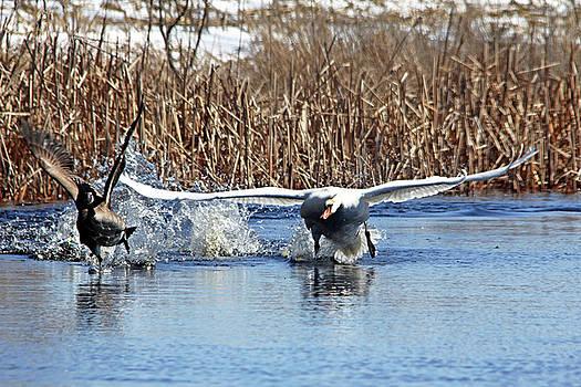 Debbie Oppermann - Mute Swan Chasing Canada Goose