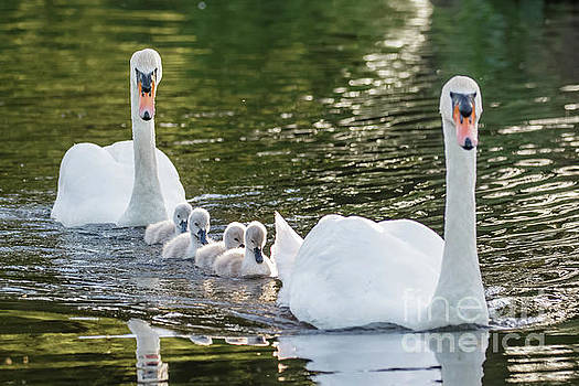 Mute Swan - Cygnus olor -  adult and cute fluffy baby cygnets, swim by Paul Farnfield