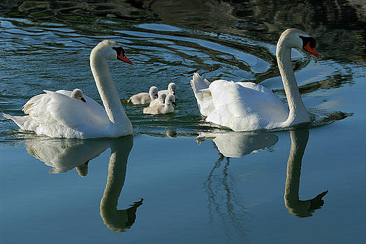 Reimar Gaertner - Mute swan family of five cygnets with one riding on the back of