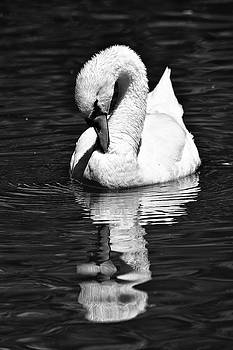 Mute Swan in Black and White by Maria Keady