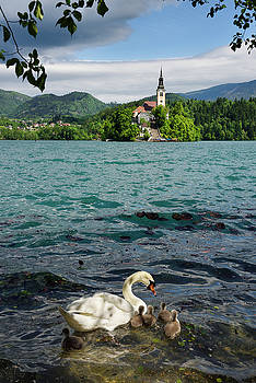 Mute swan mother with young downy cygnets in turquoise Lake Bled by Reimar Gaertner