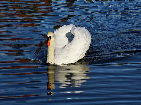 Mute Swan On The River by Susie Peek