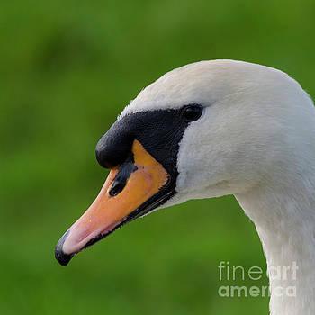 Mute swan pen by Steev Stamford