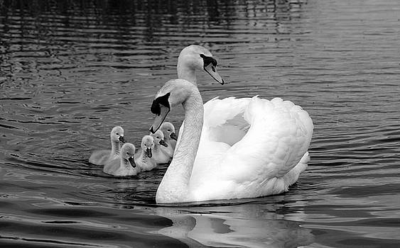 Mute Swans by Peter Skelton