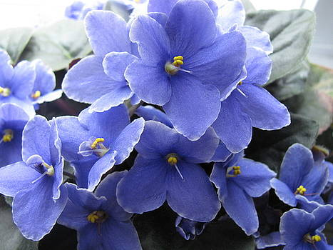 My blue African Violets by Ken Moran