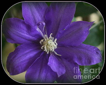 My Blue Clematis by Dora Sofia Caputo Photographic Art and Design