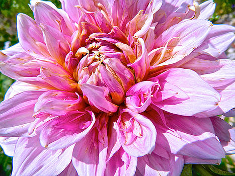 My First Dahlia by Randy Rosenberger
