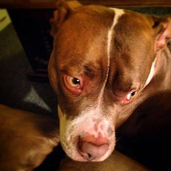My Friend's Pitbull, A Female Named by Lisa Pearlman