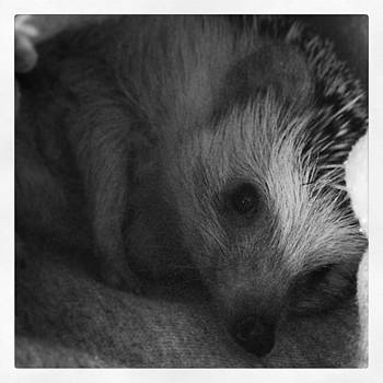My Little 👼 #hedgehog #slimstagram by Emily Botelho