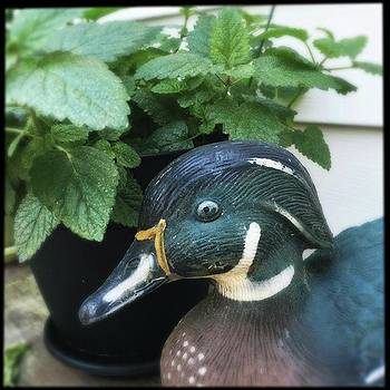 A Duck Decoy Nestled into a Lemon Balm Plant by Phunny Phace