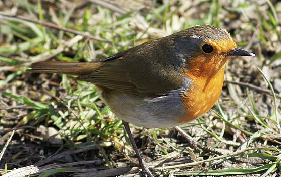 My Robin Friend 1 by Carol Lynch