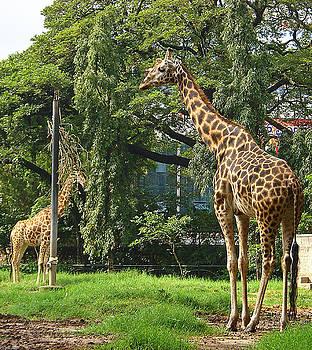 Mysore Giraffes by Siddarth Rai