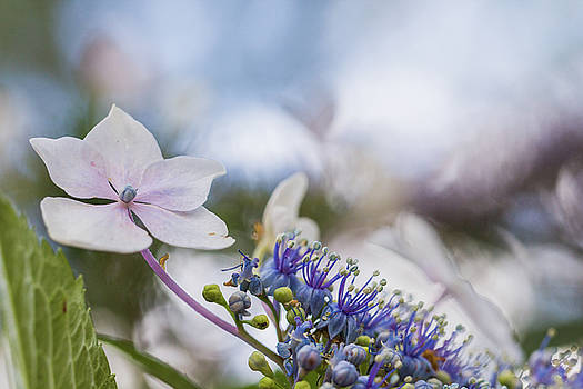 Mystical Hydrangeas by Karen Forsyth