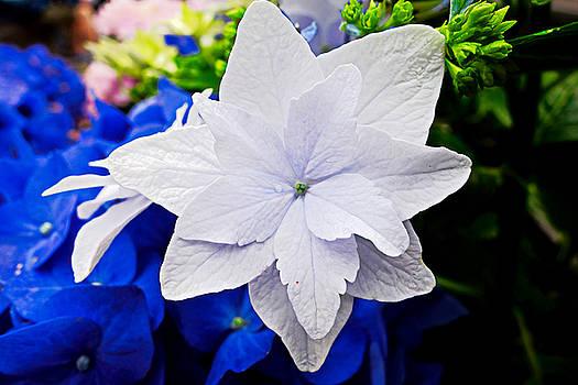 Robert Meyers-Lussier - Nagasaki Floral Study 1