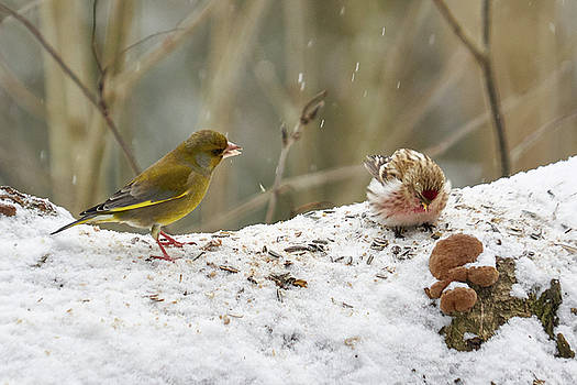 Nagging. Redpolls and greenfinches by Jouko Lehto