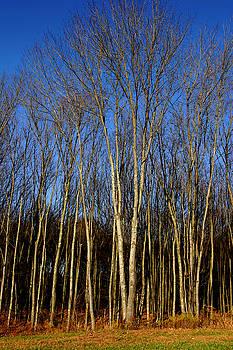 Naked Trees by Nabila Khanam