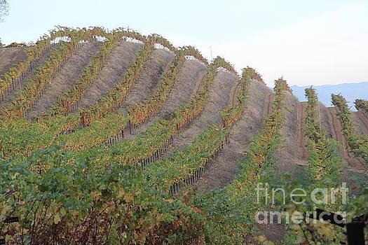 Napa Vineyard by Anthony Jones