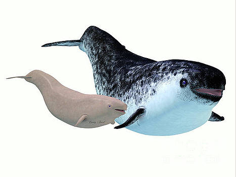 Corey Ford - Narwhal Female Whale and Calf
