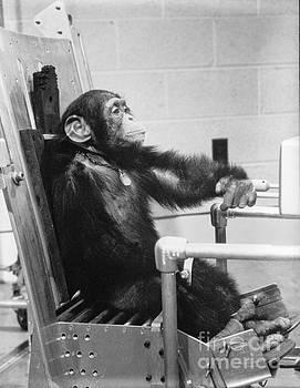 R Muirhead Art - NASA Chimpanzee Ham prior to space test flight